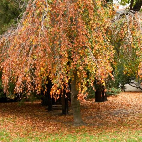 jpg_autumn_tree_medicka_zahrada_dscn1239