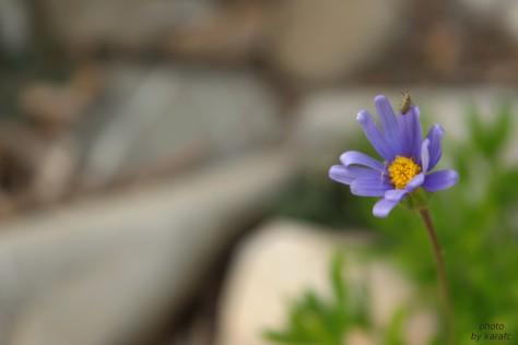 Felicia amelloides  or blue daisy