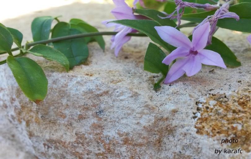 Tulbaghia violacea, society garlic or pink agapanthus