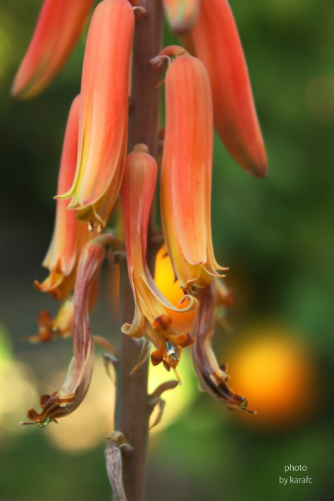 Aloe Vera Flower close-up
