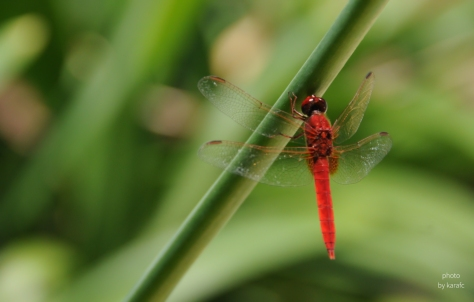 Red Dragonfly - insect