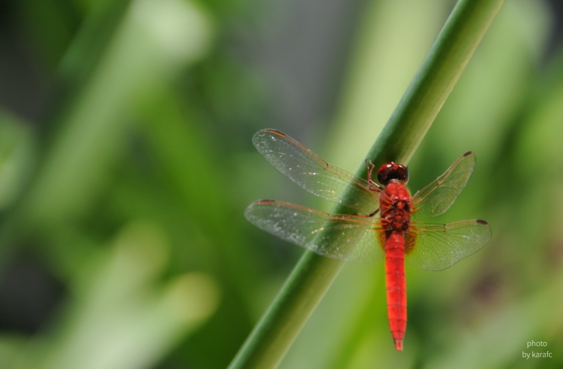 insect_dragonfly_red
