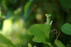 insect - mantis -green