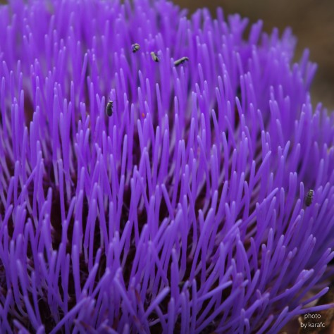 raw_artichoke_flower_dsc_0001_square