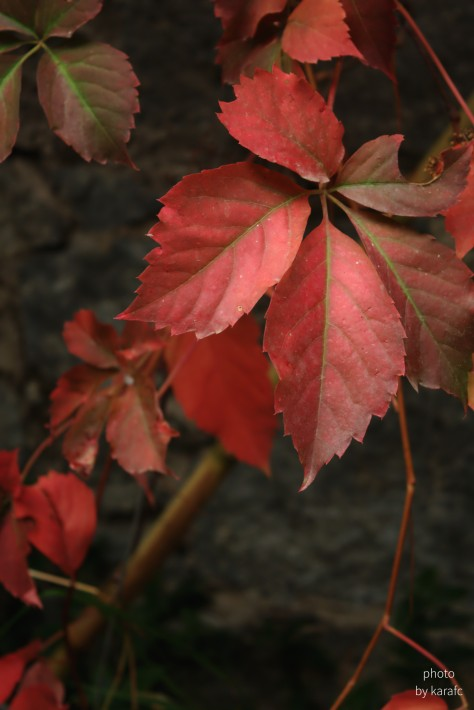 Leaves of Virginia creeper