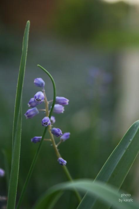 Muscari Parviflorum, Autumn Grape Hyacinth - wildflower