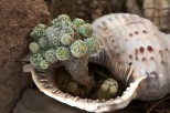sea conch shell with cactus