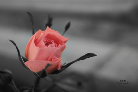 Pink rose, partially monochrome, pink only, flower