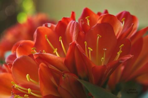red Clivia miniata flowers - Natal lily, bush lily