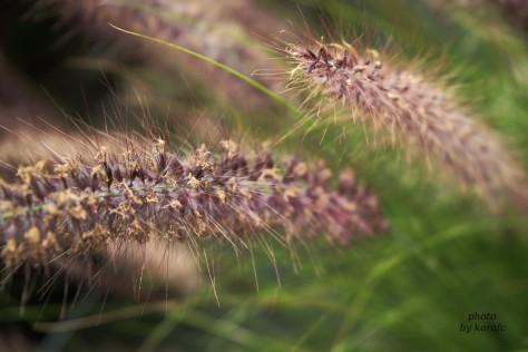 Pennisetum alopecuroides (fontain grass)