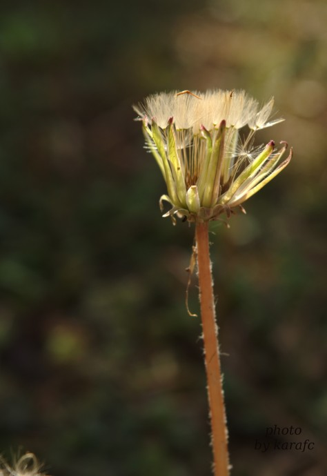 dandelion_flower