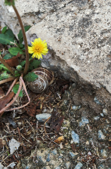 nature_yellow dandelion_snail
