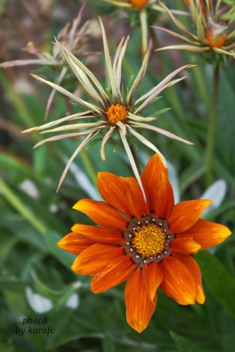 Gazania rigens_treasure flowers_african daisy_garden