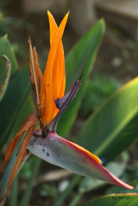 Strelitzia, bird of paradise flower